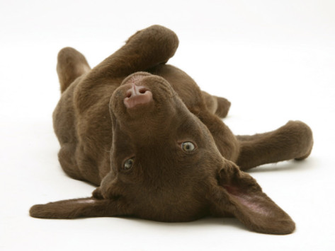 jane-burton-chesapeake-bay-retriever-dog-pup-teague-9-weeks-old-rolling-on-the-ground