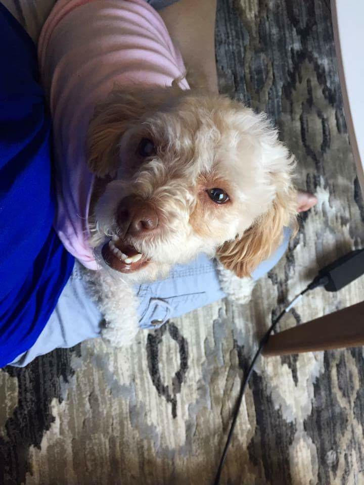 Hannah-3.5 Year Old Mini Poodle- ADOPTED!