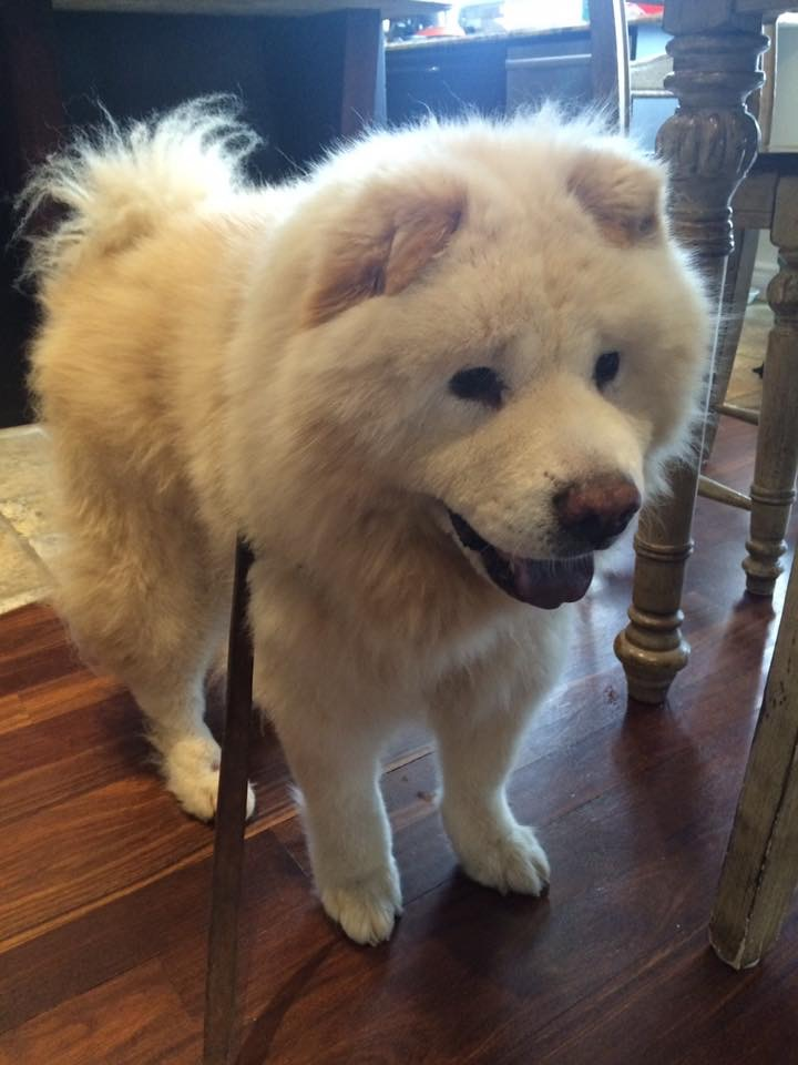 Manni- 12 Year Old Chow- ADOPTED!