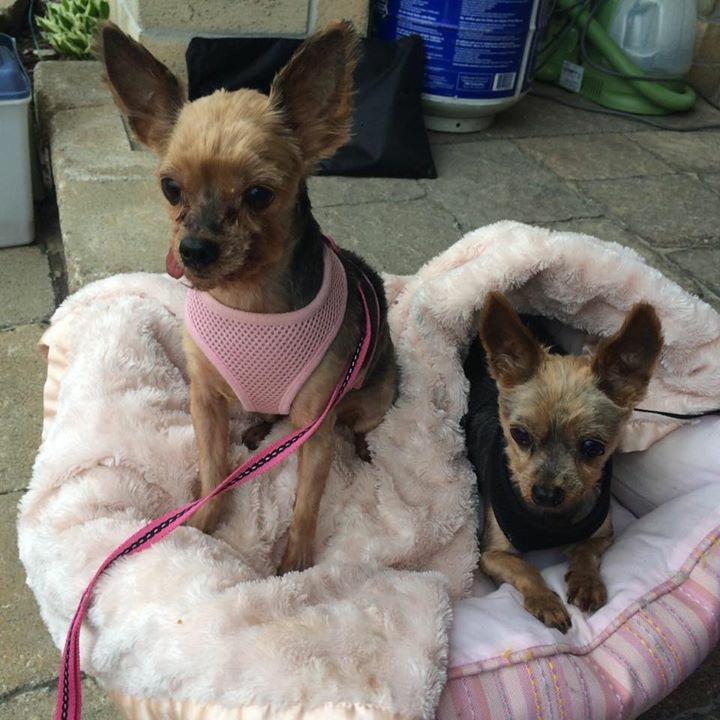 Winston & DeeDee- 10 Year Old Yorkies-  Adopted!