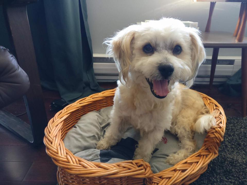 Morty- 8 Year Old Shih Tzu/Bichon Mix- ADOPTED
