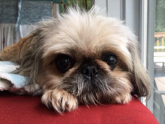 Timmy 8 5 Year Old Pekingese Shih Tzu Mix Adopted