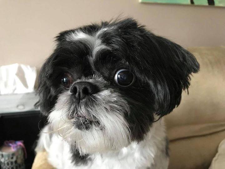 Pebbles- 5 Year Old Shih Tzu- Pebbles- ADOPTED!