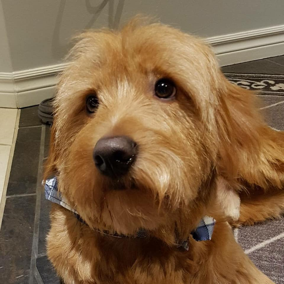 Felix- 18 Month Old Goldendoodle- ADOPTED!