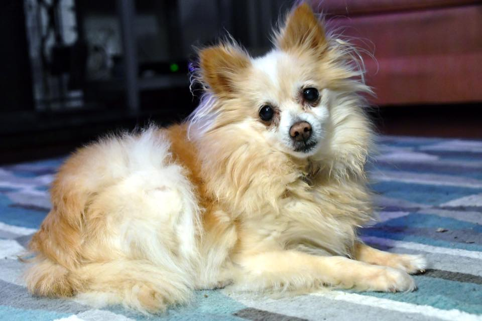 Princess- 14 Year Old Pomeranian – ADOPTED!
