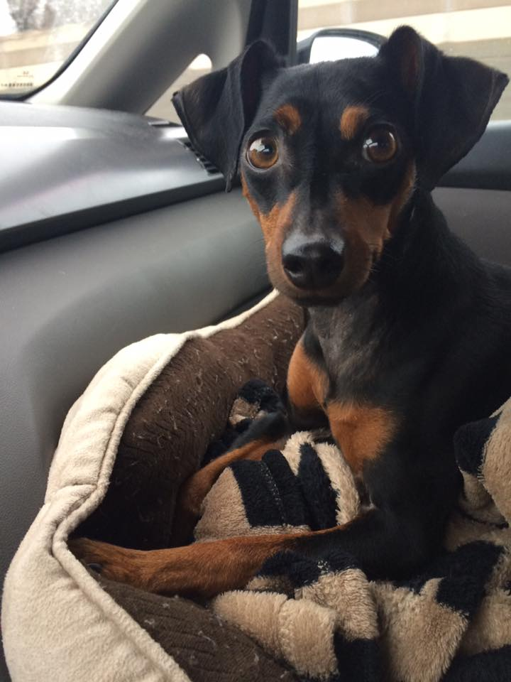 Toby- 3 Year Old Mini Pinscher- ADOPTED!