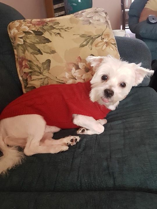 Toby- 5 Year Old Maltese- ADOPTED!
