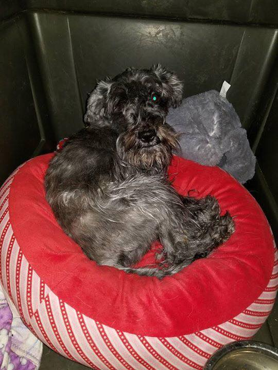 Lanza- 2.5 Year Old Schnauzer- ADOPTED!