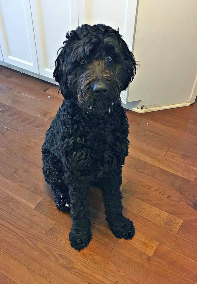 Maggie- 16 Month Old Berndoodle- ADOPTED!