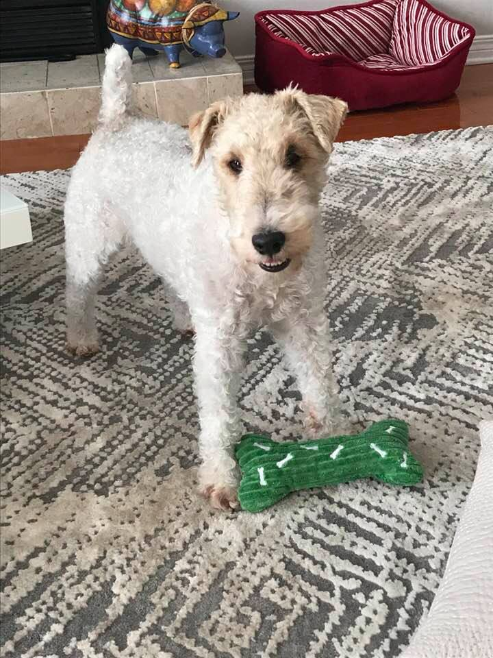 Milou- 5 Year Old Wire Haired Fox Terrier- ADOPTED!