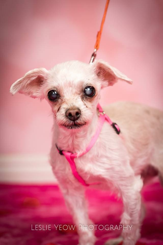 Blossom- 15 Year Old Maltese Mix- ADOPTED!