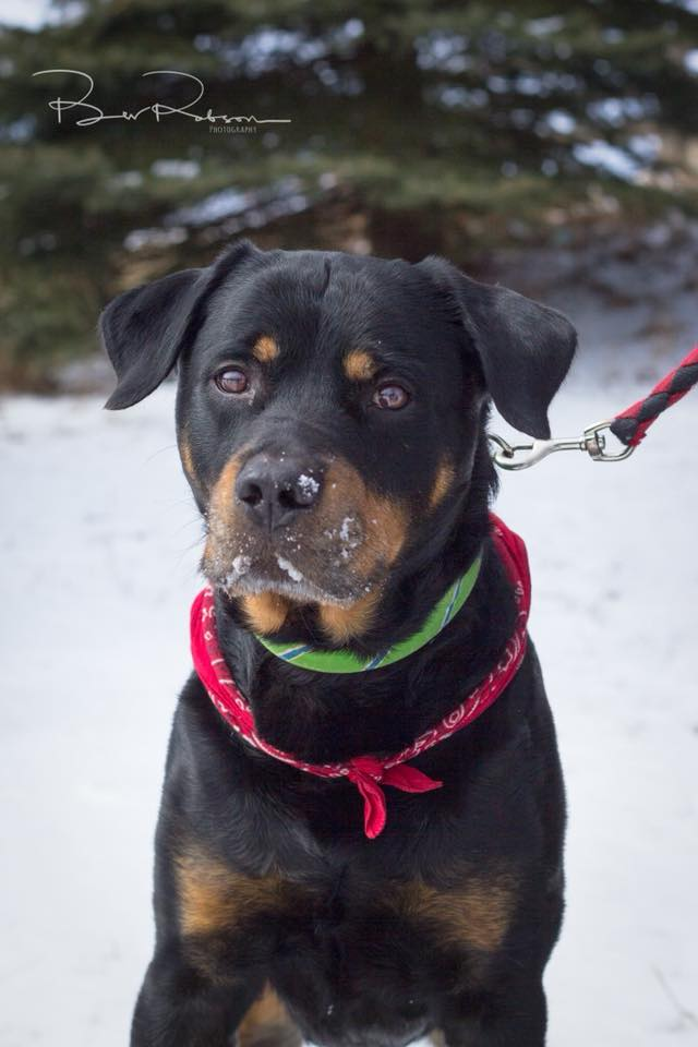 Bowser- 7 Year Old Rottie- ADOPTED!