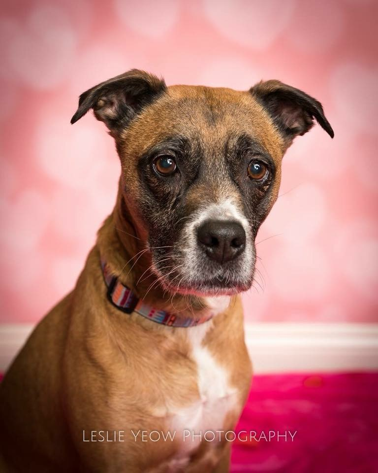 Trixie- 8 Year Old Boxer Mix- ADOPTED!