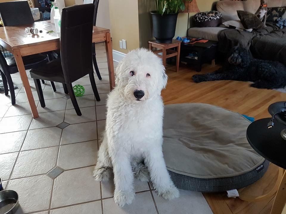 Oslo- 1.5 Year Old English Sheepdog- ADOPTED!