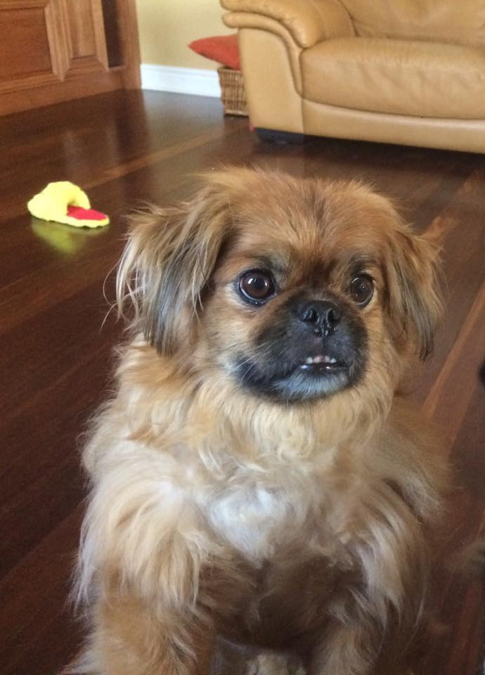 Romeo- 7.5 Year Old Pekinese- Adopted!