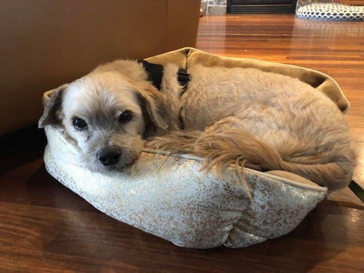 Charlie- 10 year old Shih Tzu-  Adopted