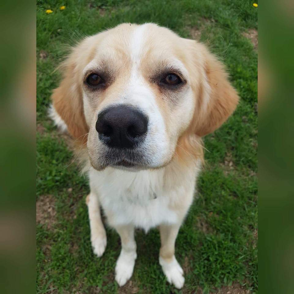 Muppet- 2 Year Old Golden Retriever/Spaniel Mix- ADOPTED!