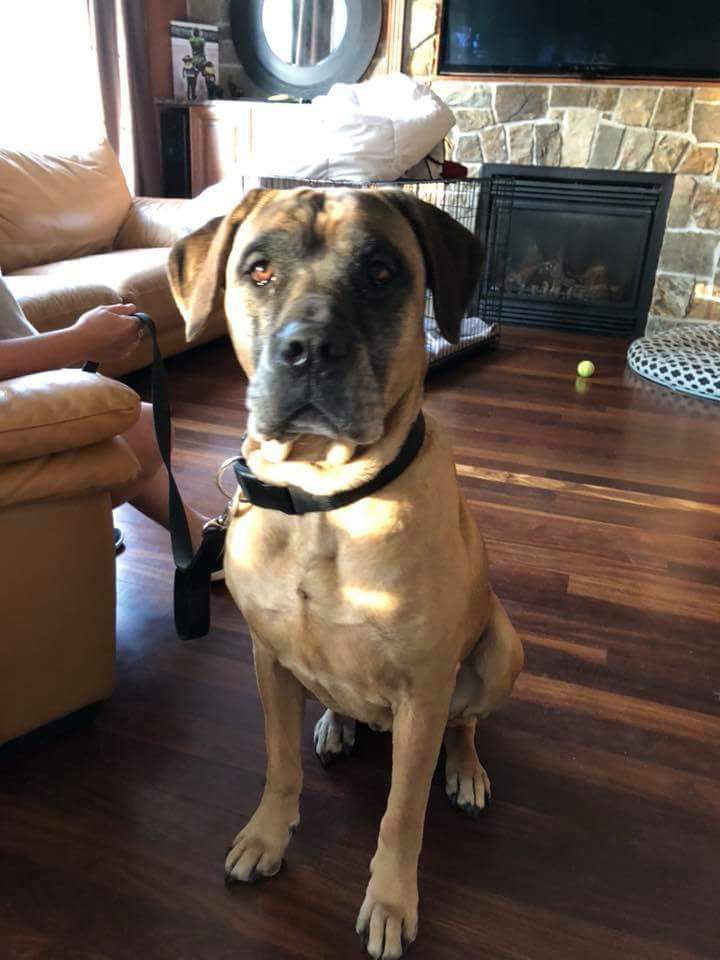 Tiggy- 6 Year Old Mastiff/Dogo-ADOPTED!