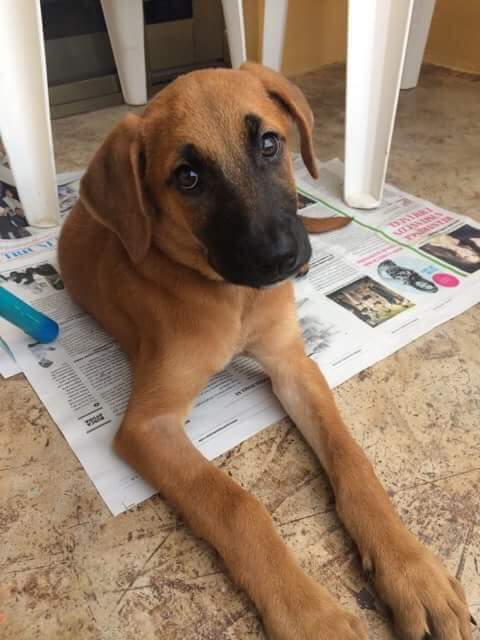 Mante- 3 Month Old Black Mouthed Cur Mix- ADOPTED!