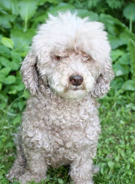 Lola- 7 Year Old Mini Poodle- ADOPTED!