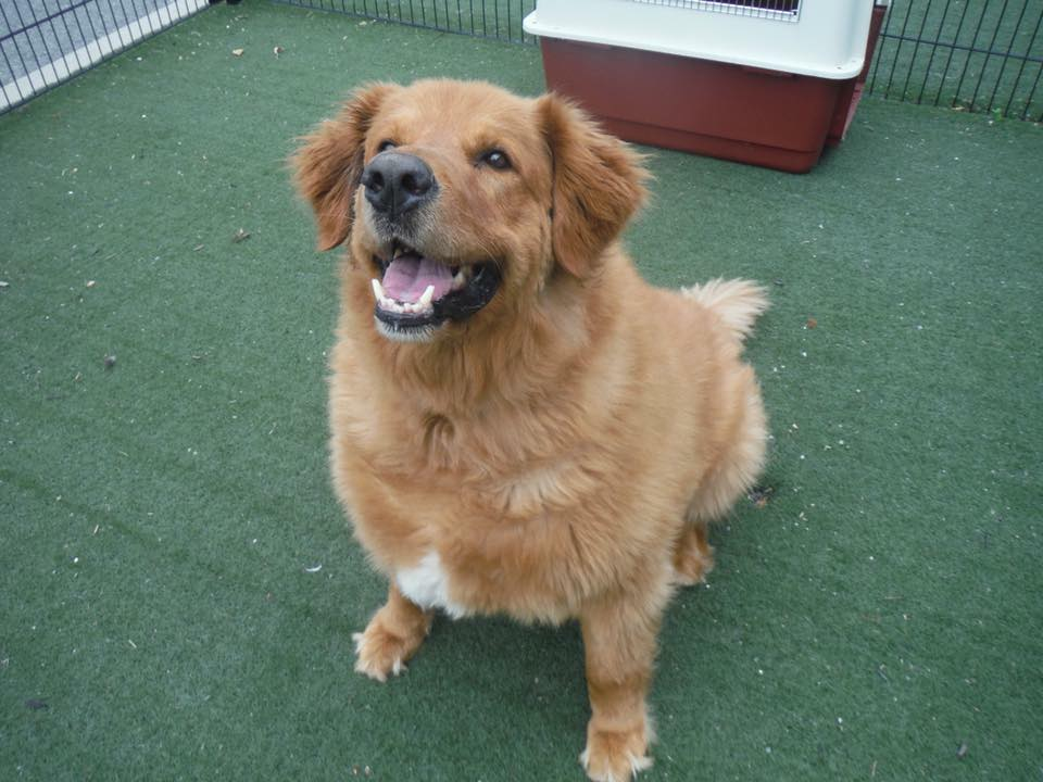 Boady- 9 Year Old Golden Retriever- ADOPTED