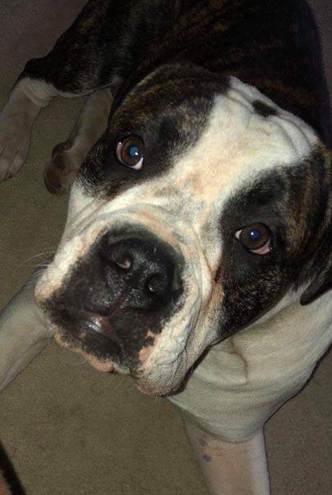 Mac- 1 Year Old American Bulldog- ADOPTED!