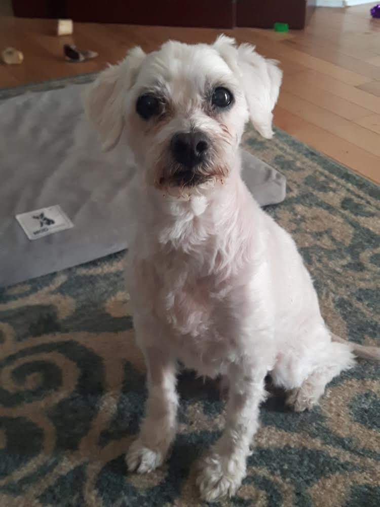 Porty- 10 Year Old Bichon Mix- Available