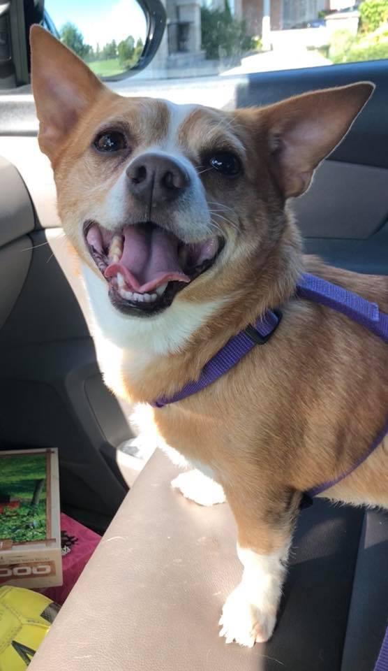 Winston- 6 Year Old Corgi/Chihuahua Mix- ADOPTED!