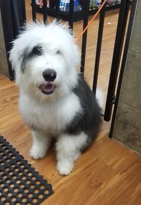 Panda – 7 month old  Olde English Sheepdog- AVAILABLE