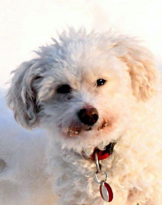 COCO – +10 YEAR OLD BICHON FRISE – ADOPTED!