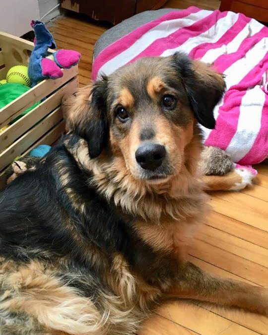 DAISY – 8YR OLD BERNESE MIX – ADOPTED!