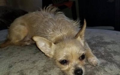 BELLA – 2-3 YEAR OLD CHIHUAHUA/TERRIER MIX – ADOPTED!