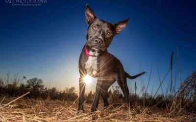 TAZZY – 1 YR OLD LAB / CATTLE DOG MIX