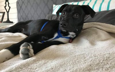 BARNEY – 8 MONTH OLD CHIHUAHUA / TERRIER MIX – ADOPTED!