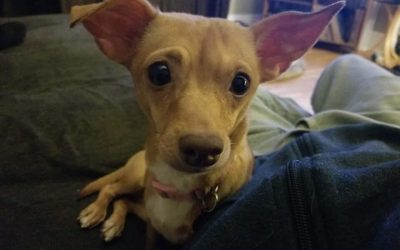 ALBA 2-3 YEAR OLD CHIWEENIE- ADOPTED!