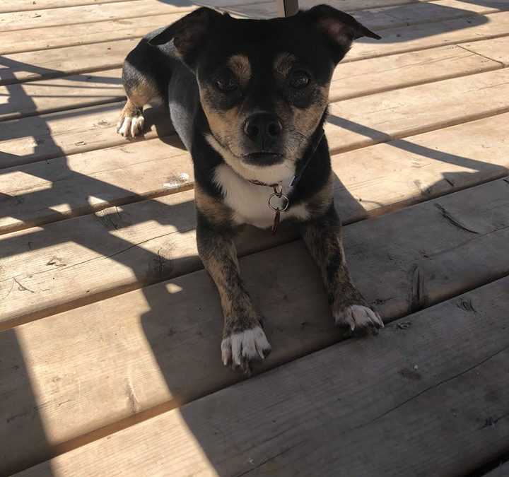 JADEN – 3- 4 YEAR OLD CHIHUAHUA MIX – ADOPTED!
