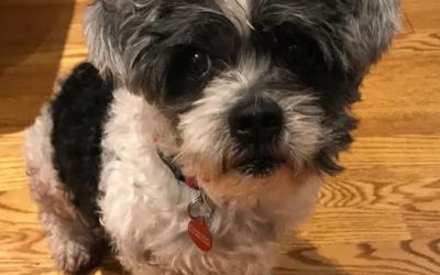 MR. SMITHERS – 10-11 YEAR OLD SHIH TZU – ADOPTED!