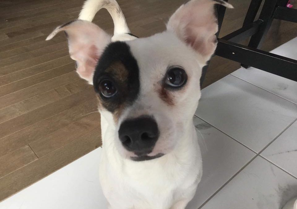 LUCAS – 3 YR OLD JACK RUSSELL/CHIHUAHUA MIX – ADOPTED!