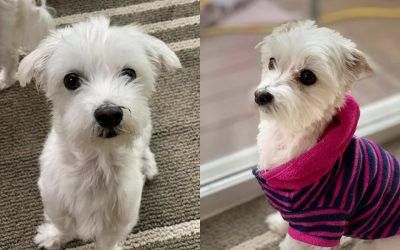 ADOPTED – MILO AND SNOW – BONDED PAIR 5 YEAR OLD MALTESE