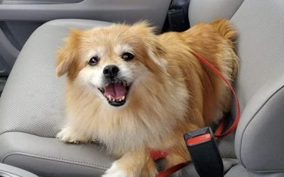 ADOPTED – CARLY – 10 YEAR OLD POMERANIAN MIX