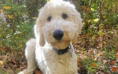 ADOPTED – DOOBY – 6 MONTH OLD GOLDENDOODLE