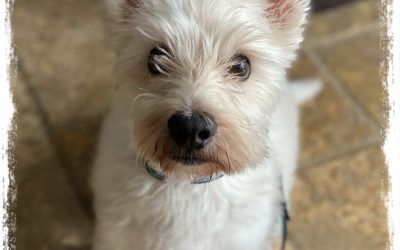 COMING SOON – JO – 10 YEAR OLD WEST HIGHLAND TERRIER