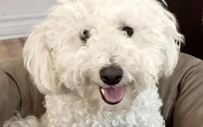 ADOPTED – CHLOE – 4 YEAR OLD BICHON FRISE