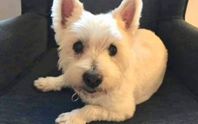 ADOPTED – NALA – 10 YEAR OLD WEST HIGHLAND WHITE TERRIER