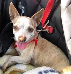 ADOPTED – FETA – 9 YEAR OLD CHIHUAHUA