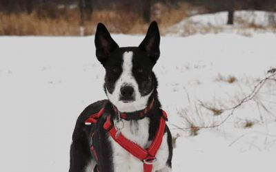 ADOPTED – AMOS – 11 MONTH OLD BLUE HEELER/BORDER COLLIE MIX
