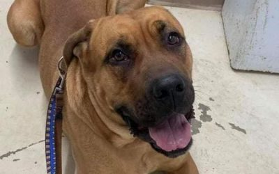 ADOPTED – JENGA – 1.5 YEAR OLD MASTIFF MIX