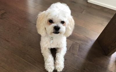 ADOPTED – YAN – 9 YEAR OLD SHIH  TZU MIX