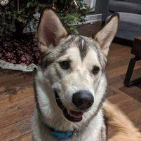ADOPTED – BENJI – 15 MONTH OLD HUSKY/MALAMUTE MIX