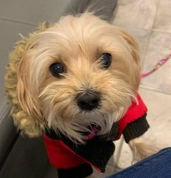 ADOPTED – MYNY – 10 YEAR OLD MALTESE/POODLE MIX